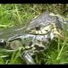 【感動・蛇の捕食】窮地からの生還!食べられる寸前の仲間を救いに来た蛙の友情